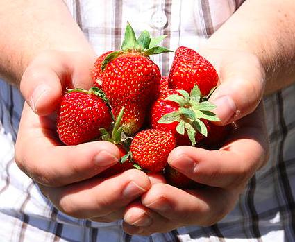 becker farms strawberry